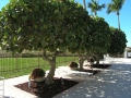 10 Shade trees by the pool